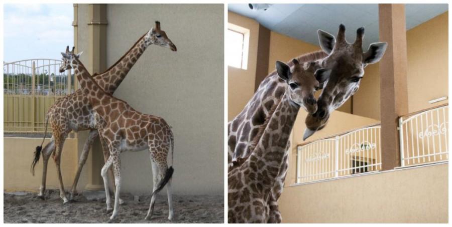 Рождение жирафенка в Зоопарке 12 Месяцев
