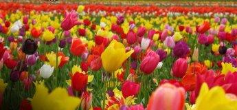 Фестиваль тюльпанів у Кропивницькому